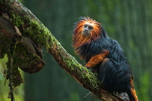 Golden headed lion tamarin (Leontopithecus chrysomelas) captive occurs in Brazil. Endangered species.  -  Edwin  Giesbers