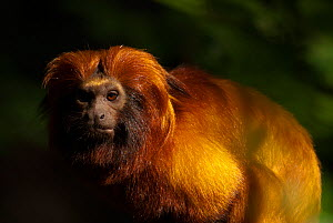 Golden lion tamarin (Leontopithecus rosalia) captive, occurs in the Atlantic Rainforest of Brazil. Critically endangered.  -  Edwin  Giesbers