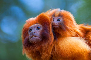 Golden lion tamarin (Leontopithecus rosalia) mother with baby on back. Captive, occurs in the Atlantic Rainforest of Brazil. Critically endangered.  -  Edwin  Giesbers