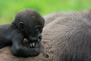 Western lowland gorilla (Gorilla gorilla gorilla) baby riding on mother's back, captive, occurs in Central Africa. Critically endangered.  -  Edwin  Giesbers