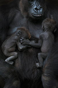 Western lowland gorilla (Gorilla gorilla gorilla) twin babies age 45 days sleeping on mother's chest, captive, occurs in Central Africa. Critically endangered.  -  Edwin  Giesbers