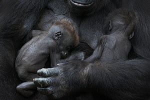 Western lowland gorilla (Gorilla gorilla gorilla) twin babies age 45 days sleeping in mother's arms, captive, occurs in Central Africa. Critically endangered.  -  Edwin  Giesbers