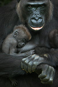 Western lowland gorilla (Gorilla gorilla gorilla) baby sleeping in mother's arms, captive, occurs in Central Africa. Critically endangered. - Edwin  Giesbers