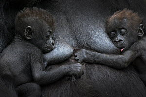Western lowland gorilla (Gorilla gorilla gorilla) twin babies age 45 days resting on mother's chest, one suckling. captive, occurs in Central Africa. Critically endangered. - Edwin  Giesbers