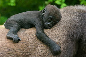 Western lowland gorilla (Gorilla gorilla gorilla) baby resting on mother's back, captive, occurs in Central Africa. Critically endangered.  -  Edwin  Giesbers