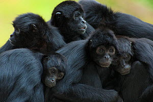 Brown headed spider monkey (Ateles fusciceps) group resting together, captive occurs in Central and South America.  -  Edwin  Giesbers