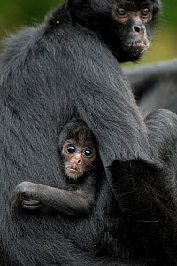 Brown headed spider monkey (Ateles fusciceps) mother and baby, captive occurs in Central and South America.  -  Edwin  Giesbers