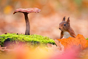 Red Squirrel (Sciurus vulgaris) in autumnal woodland  leaflitter with toadstool, the Netherlands, November. - Edwin  Giesbers