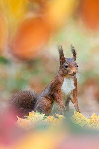 Red Squirrel (Sciurus vulgaris) in autumnal woodland  leaflitter, the Netherlands, November. - Edwin  Giesbers