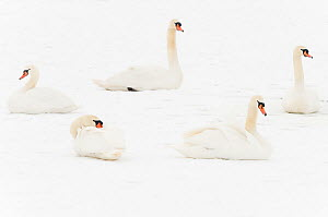 Five Mute swans (Cygnus olor) resting on snow, Hazerswoude, The Netherlands, February. - Edwin  Giesbers