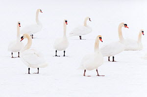 Mute swan (Cygnus olor) flock on snow, Hazerswoude, The Netherlands, February.  -  Edwin  Giesbers