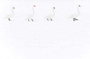 Four Mute swans (Cygnus olor) walking over snow, Hazerswoude, The Netherlands, February.  -  Edwin  Giesbers