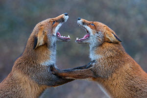 Red foxes (Vulpes vulpes) fighting. - Edwin  Giesbers