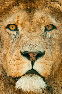 Lion (Panthera leo) close up portrait of male, captive occurs in Africa.  -  Edwin  Giesbers