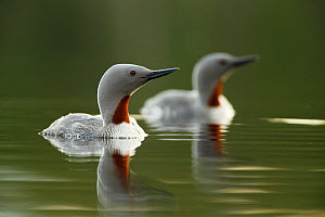 Red throated diver (Gavia stellata) pair on water with reflection, Troms, Norway, June.  -  Espen Bergersen