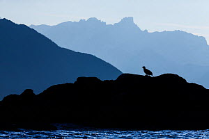 Silhouette of White-tailed eagle (haliaeetus albicilla) sitting on coastal rocks, Kvaloya, Troms, Norway, October.  -  Espen Bergersen