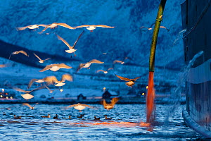 Gulls (Laridae) seaching for food in water containing blood coming from a large fishing boat, Tromvik, Kvaloya, Troms, Norway, November 2014. - Espen Bergersen
