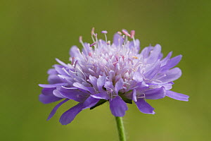 Field scabious (Knautia arvensis) in flower, Green Down Nature Reserve, Somerset, England, UK, July. - David Pike
