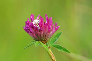 Red clover (Trifolium pratense) in flower, with Grove snail (Cepaea nemoralis), Green Down Nature Reserve, Somerset, England, UK, July. - David Pike