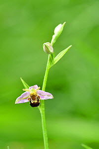 Bee orchid (Ophrys apifera) in flower, Green Down Nature Reserve, Somerset, England, UK, June.  -  David Pike