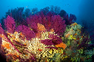 Red fan corals (Paramuricea clavata), Yellow gorgonian, (Eunicella cavolini) and Yellow cave-sponges (Aplysina cavernicola), Ischia Island, Italy, Tyrrhenian Sea, Mediterranean. - Franco  Banfi