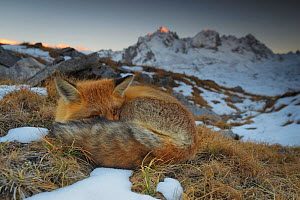 Close-up of a Red fox (Vulpes vulpes) resting, with mountains in the background, Vanoise National Park, Rhone Alpes, France, October.  -  Benjamin  Barthelemy