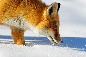 Close-up of a Red fox (Vulpes vulpes) sniffing, Vanoise National Park, Rhone Alpes, France, November. - Benjamin  Barthelemy