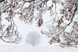 Frost covered European beech tree (Fagus sylvatica) in a snow covered field framed by frosty branches, Calonda, Harghita County, Transylvania, Romania, January. - Erlend Haarberg