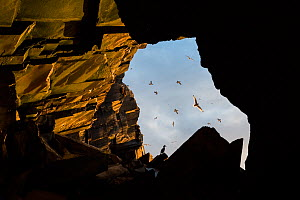 European shag (Phalacrocorax aristotelis) sitting at the entrance of a cave with flock of Common guillemots (Uria aalge) and Gulls (Laridae) flying past cave, Hornoya and Reinoya Nature Reserve, Finnm...  -  Erlend Haarberg