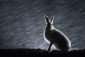 Mountain hare (Lepus timidus) sitting in snow at night, Norway, April.  -  Erlend Haarberg
