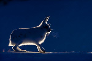Mountain hare (Lepus timidus) backlit, Vauldalen, Norway, April. - Erlend Haarberg