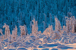 Norway spruce trees (Picea abies) covered in snow and frost, on the treeline, Sor-Stubba, Muddus National Park, Lapland, Sweden, February 2013. - Erlend Haarberg