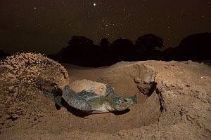Green Turtle (Chelonia mydas),  digging nest.  Bijagos Islands, Guinea Bissau. Endangered species. - Pedro  Narra