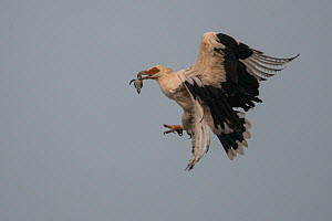 Palm-nut vulture (Gypohierax angolensis) carrying baby Green Turtle (Chelonia mydas) which has just emerged from the nest, Bijagos Islands, Guinea Bissau. - Pedro  Narra