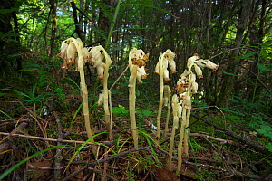 Dutchman's pipe (Monotropa hypopitys) flowers, Jiuzhaigou National Nature Reserve, Sichuan Province, China,   August.  -  Dong Lei