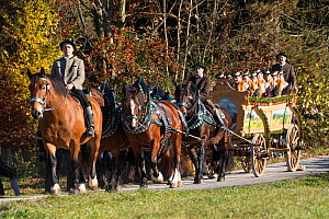 A rider and a carriage pulled by four Belgian draft horses parading during the Leonhardiritt or Leonhardifahrt, the traditional horse procession of St Leonard, in Bad Tolz, Upper Bavaria, Germany. Nov...  -  Kristel  Richard