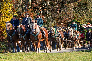 Riders on Suddeutsche horses and a carriage pulled by Suddeutsche horses parading during the Leonhardiritt or Leonhardifahrt, the traditional horse procession of St Leonard, in Bad Tolz, Upper Bavaria...  -  Kristel  Richard