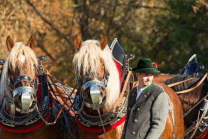 Portrait of two harnessed Suddeutsche horses and their driver during the Leonhardiritt or Leonhardifahrt, the traditional horse procession of St Leonard, in Bad Tolz, Upper Bavaria, Germany. November...  -  Kristel  Richard