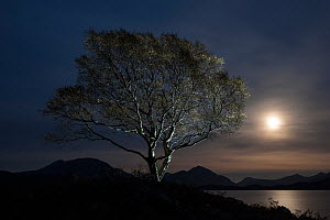 Birch (Betula) at moonrise, Loch Shieldaig, Torridon, Scotland  -  Niall Benvie