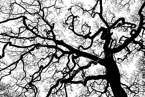 Sessile oak (Quercus petraea) tree silhouetted against white sky, Mull, Scotland, UK, January. (This image may be licensed either as rights managed or royalty free.)  -  Niall Benvie