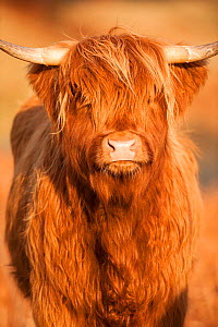 Highland cow portrait, Mull, Scotland, UK, January.  -  Niall Benvie