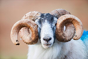 Black faced sheep ram with twisted horns, Mull, Scotland, UK. January. - Niall Benvie