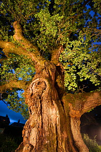 The Birnam Oak, an ancient English oak tree (Quercus robur) nearly 1000 years old, Perthshire, Scotland, UK, July.  -  Niall Benvie