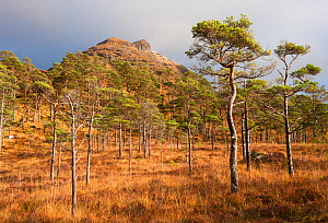 Scots pines (Pinus sylvestris) Torridon, Scotland, UK, November. - Niall Benvie