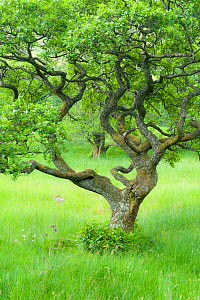 Alder tree (Alnus glutinosa) in Upper Glen Finglas, West Dumbartonshire, Scotland, UK, July.  -  Niall Benvie