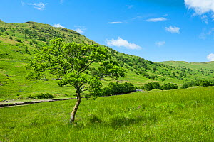 Alder trees (Alnus glutinosa) in Glen Finglas, West Dumbartonshire, Scotland, UK, July.  -  Niall Benvie
