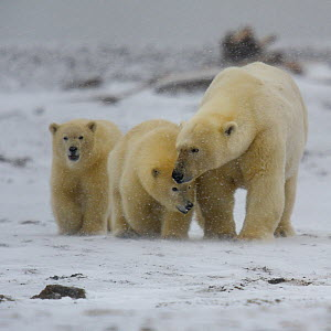 Polar Bear (Ursus maritimus) mother with cubs, Kaktovik, Alaska, USA, September. - Loic  Poidevin