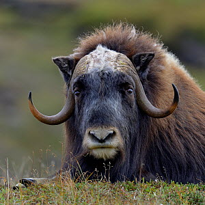 Musk ox (Ovibos moschatus) portrait whilst resting, Nome, Alaska, USA, September  -  Loic  Poidevin