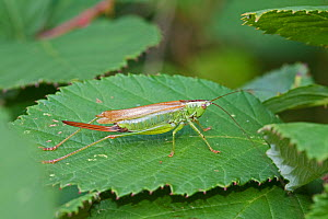Female Long-winged Conehead  (Conocephalus discolor)  Brockley Cemetery, Lewisham, London, UK.  September  -  Rod Williams