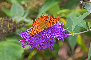 Comma  butterfly (Polygonia c-album)  feeding on Buddleia  Brockley Cemetery, Lewisham, London, UK.  September  -  Rod Williams